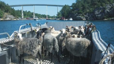 owce 1