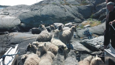 owce 3